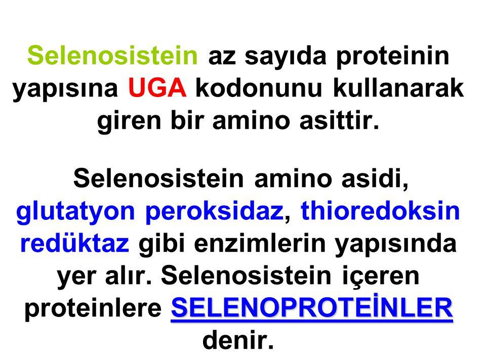 Selenosistein az sayıda proteinin yapısına UGA kodonunu kullanarak giren bir amino asittir.