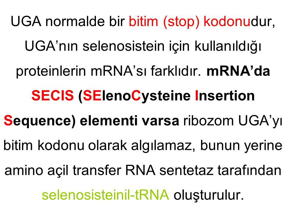 UGA normalde bir bitim (stop) kodonudur, UGA'nın selenosistein için kullanıldığı proteinlerin mRNA'sı farklıdır.