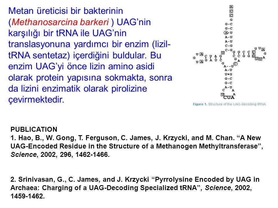 Metan üreticisi bir bakterinin (Methanosarcina barkeri ) UAG'nin karşılığı bir tRNA ile UAG'nin translasyonuna yardımcı bir enzim (lizil-tRNA sentetaz) içerdiğini buldular. Bu enzim UAG'yi önce lizin amino asidi olarak protein yapısına sokmakta, sonra da lizini enzimatik olarak pirolizine çevirmektedir.