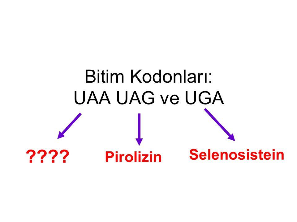 Bitim Kodonları: UAA UAG ve UGA