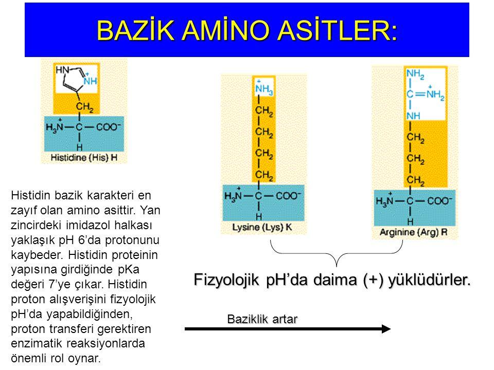 Fizyolojik pH'da daima (+) yüklüdürler.