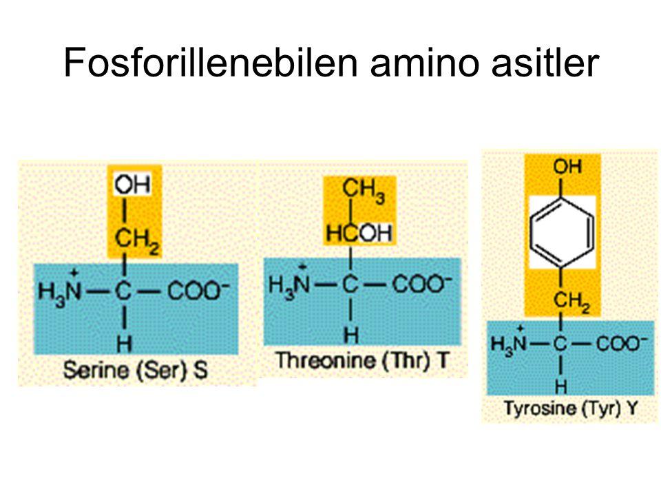 Fosforillenebilen amino asitler