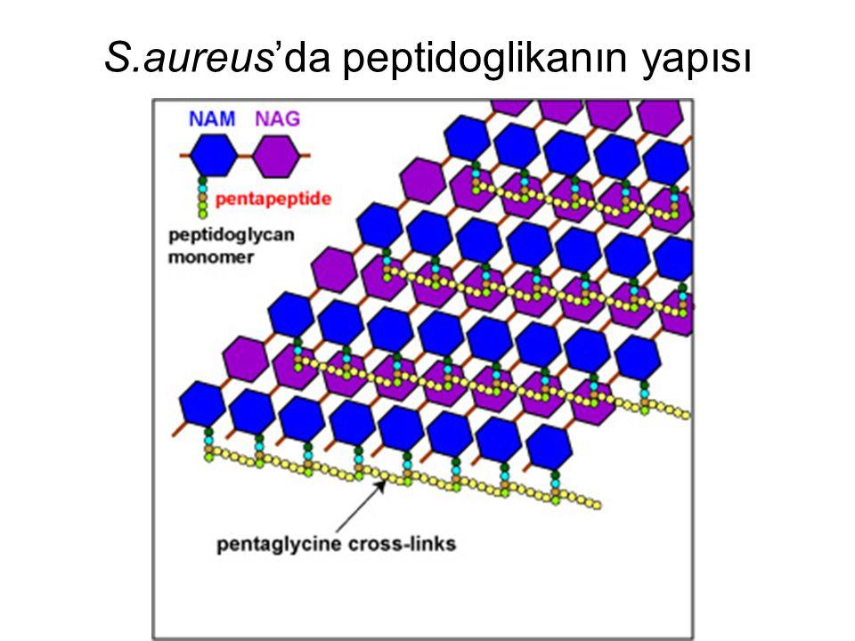 S.aureus'da peptidoglikanın yapısı