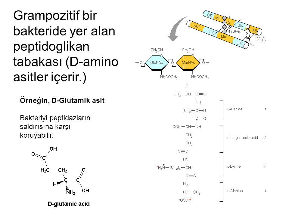 Grampozitif bir bakteride yer alan peptidoglikan tabakası (D-amino asitler içerir.)