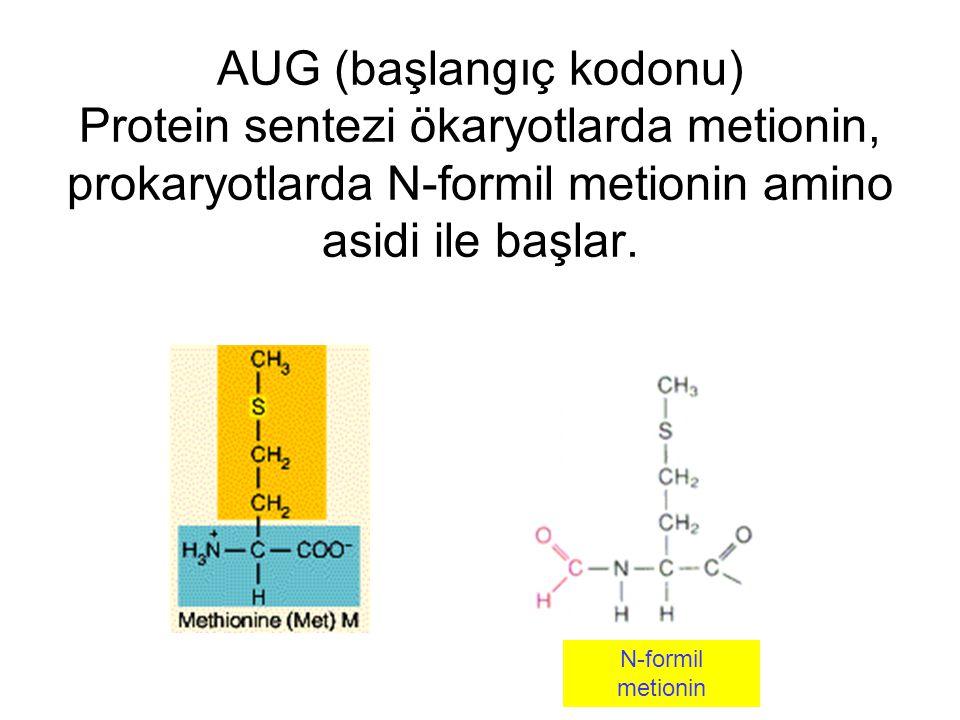 AUG (başlangıç kodonu) Protein sentezi ökaryotlarda metionin, prokaryotlarda N-formil metionin amino asidi ile başlar.