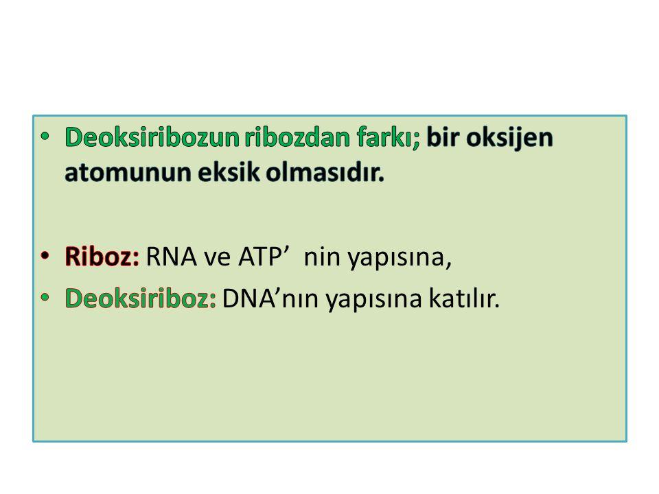 Deoksiribozun ribozdan farkı; bir oksijen atomunun eksik olmasıdır.