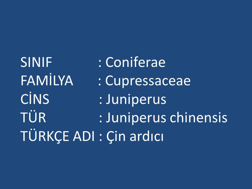 SINIF : Coniferae FAMİLYA : Cupressaceae. CİNS : Juniperus. TÜR : Juniperus chinensis.