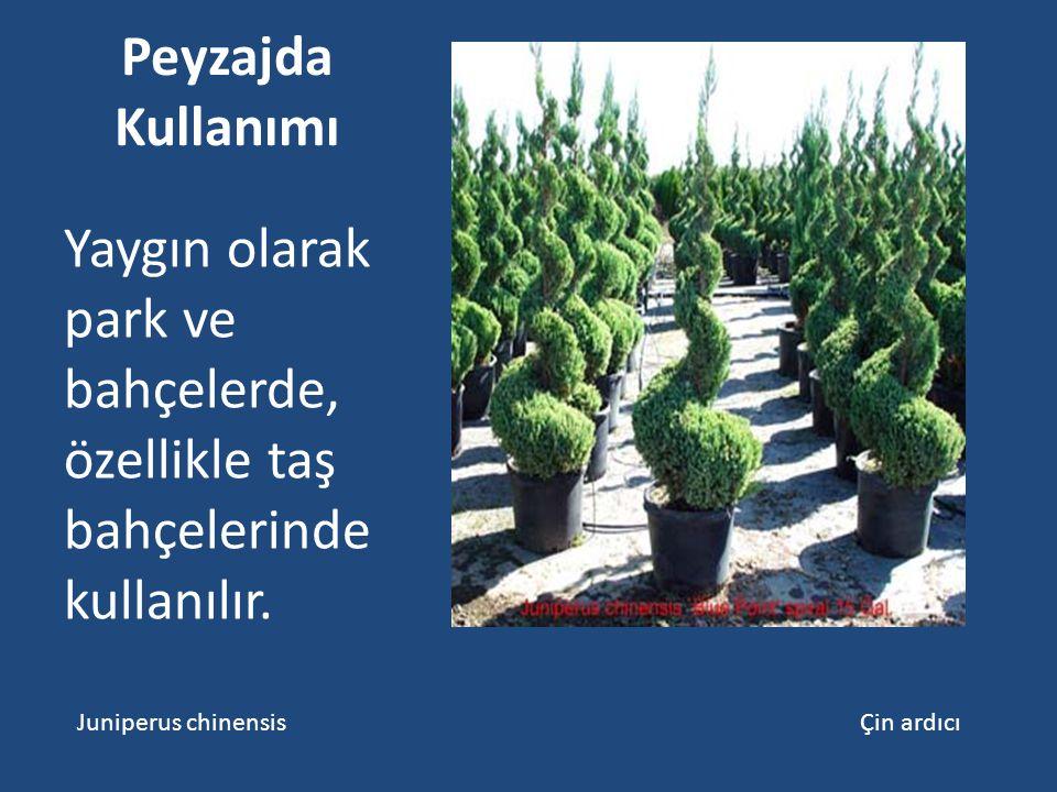 Peyzajda Kullanımı Yaygın olarak park ve bahçelerde, özellikle taş bahçelerinde kullanılır.