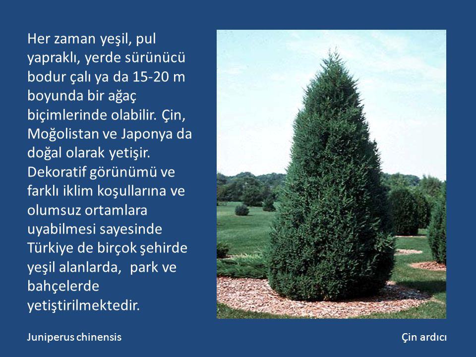 Her zaman yeşil, pul yapraklı, yerde sürünücü bodur çalı ya da 15-20 m boyunda bir ağaç biçimlerinde olabilir. Çin, Moğolistan ve Japonya da doğal olarak yetişir. Dekoratif görünümü ve farklı iklim koşullarına ve olumsuz ortamlara uyabilmesi sayesinde Türkiye de birçok şehirde yeşil alanlarda, park ve bahçelerde yetiştirilmektedir.