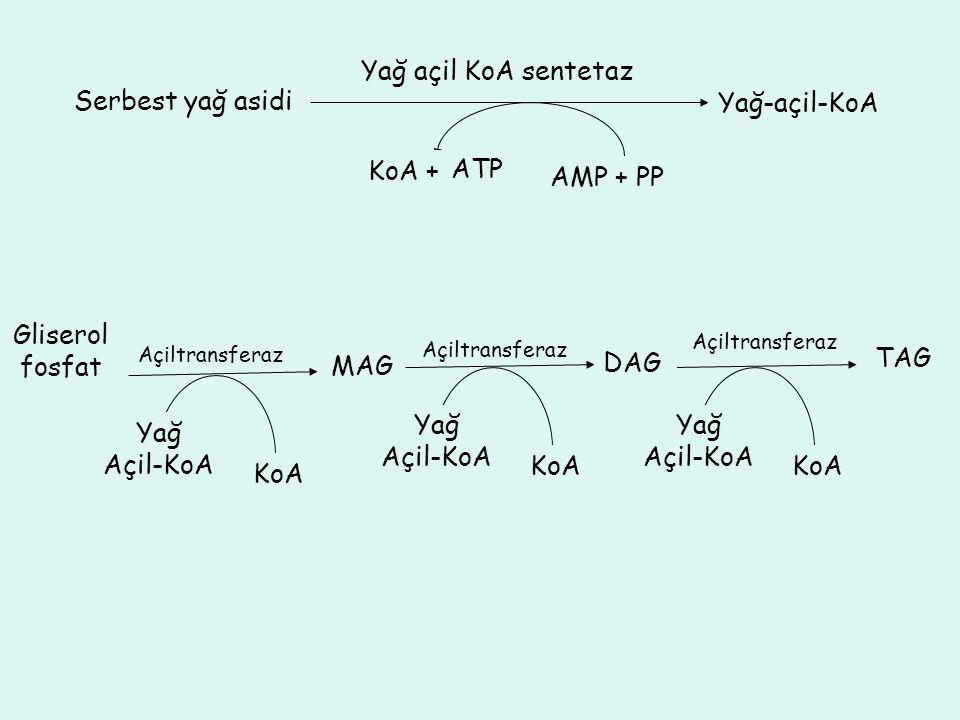 Yağ açil KoA sentetaz Serbest yağ asidi Yağ-açil-KoA KoA + ATP