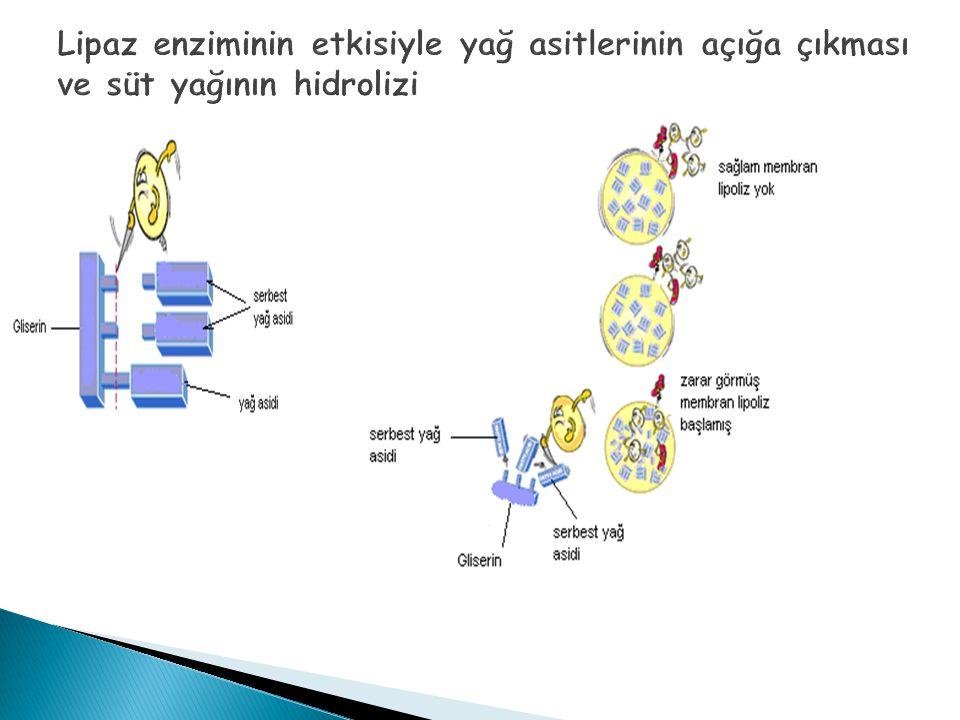 Lipaz enziminin etkisiyle yağ asitlerinin açığa çıkması ve süt yağının hidrolizi