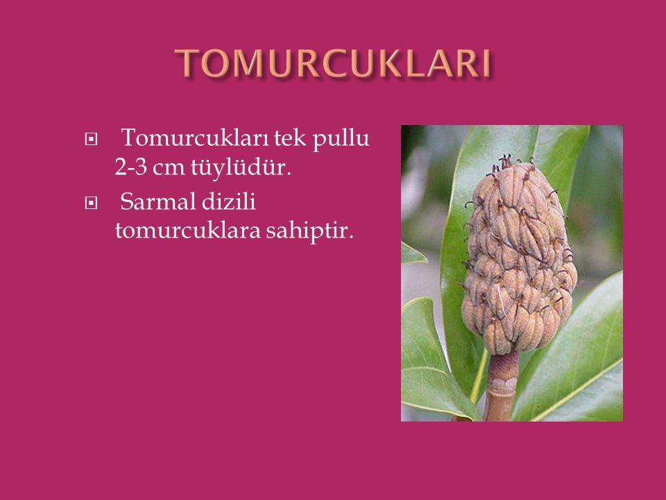 TOMURCUKLARI Tomurcukları tek pullu 2-3 cm tüylüdür.