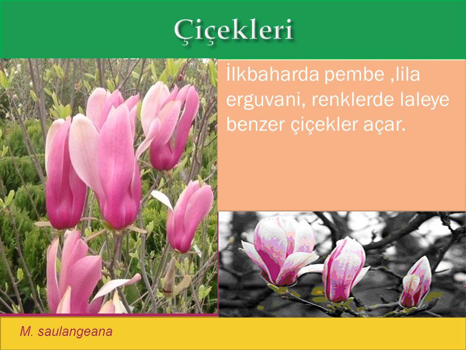 Çiçekleri İlkbaharda pembe ,lila erguvani, renklerde laleye benzer çiçekler açar. M. saulangeana