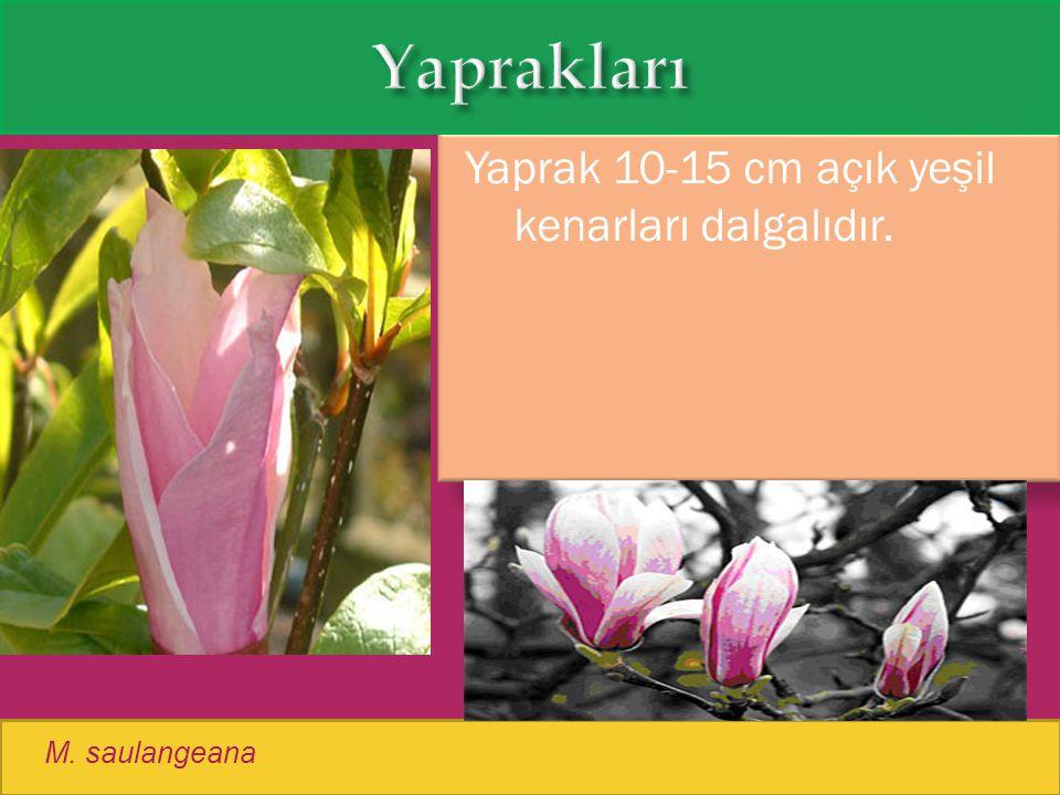 Yaprakları Yaprak 10-15 cm açık yeşil kenarları dalgalıdır.