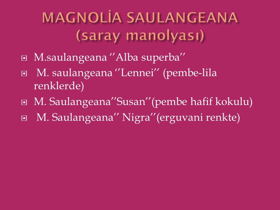 MAGNOLİA SAULANGEANA (saray manolyası)