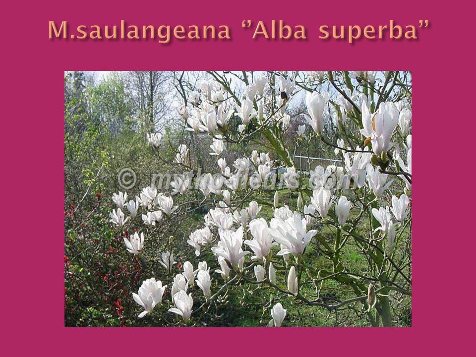 M.saulangeana ''Alba superba''