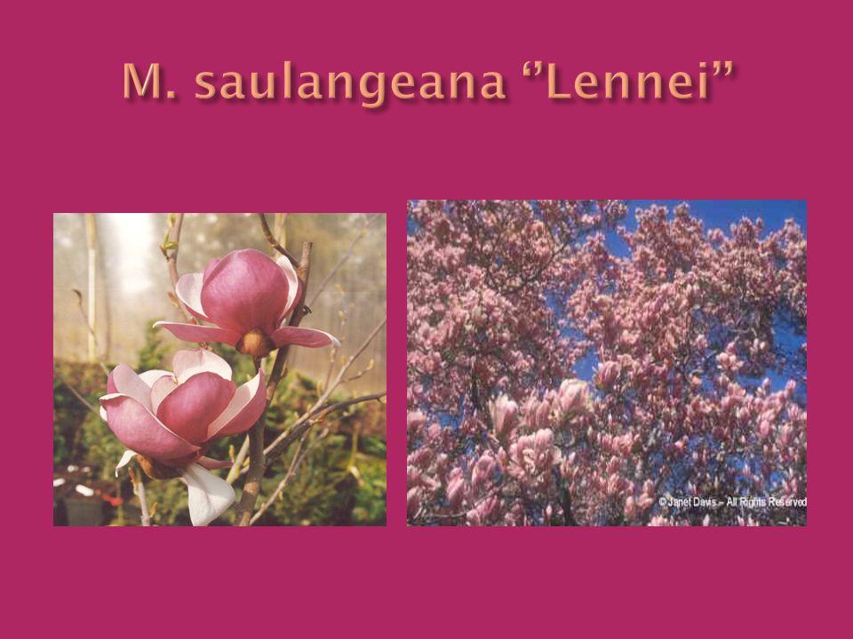 M. saulangeana ''Lennei''