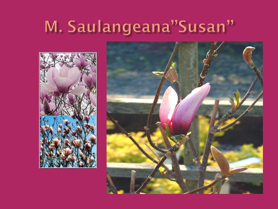 M. Saulangeana''Susan''