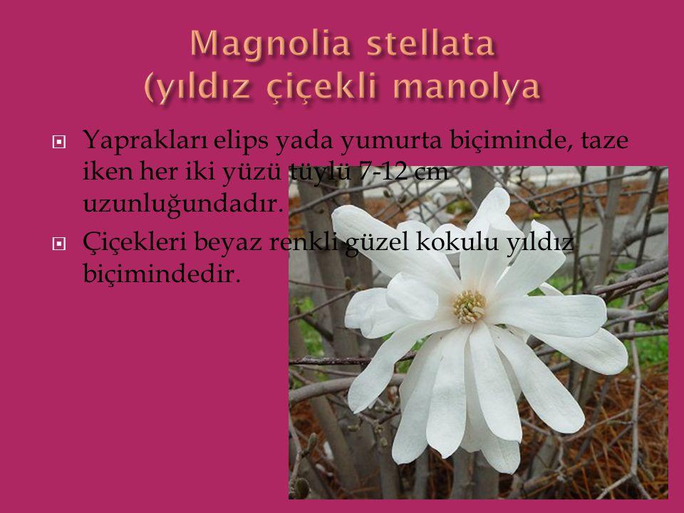 Magnolia stellata (yıldız çiçekli manolya
