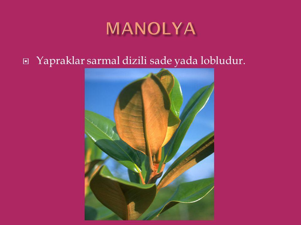 MANOLYA Yapraklar sarmal dizili sade yada lobludur.
