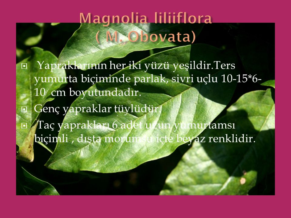 Magnolia liliiflora ( M. Obovata)