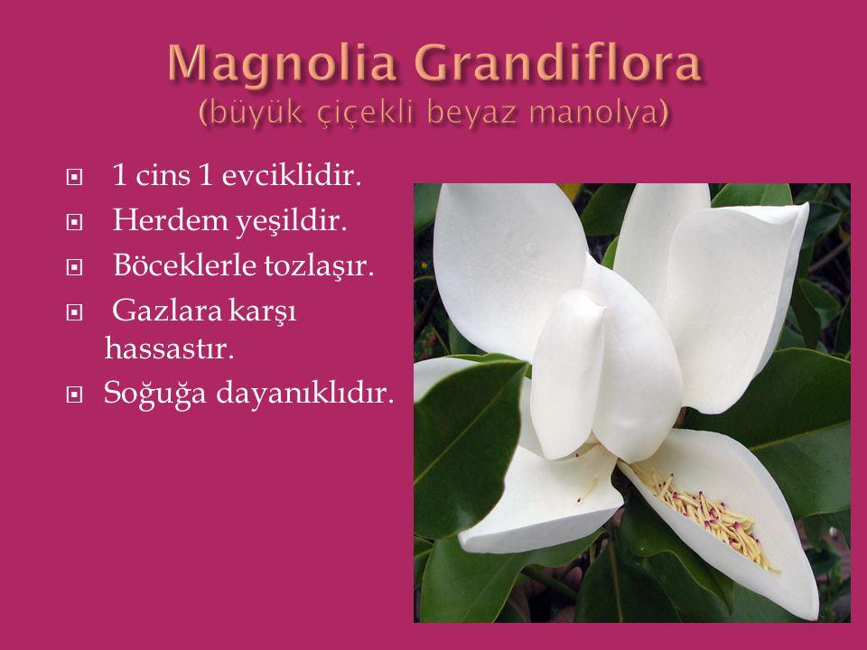 Magnolia Grandiflora (büyük çiçekli beyaz manolya)