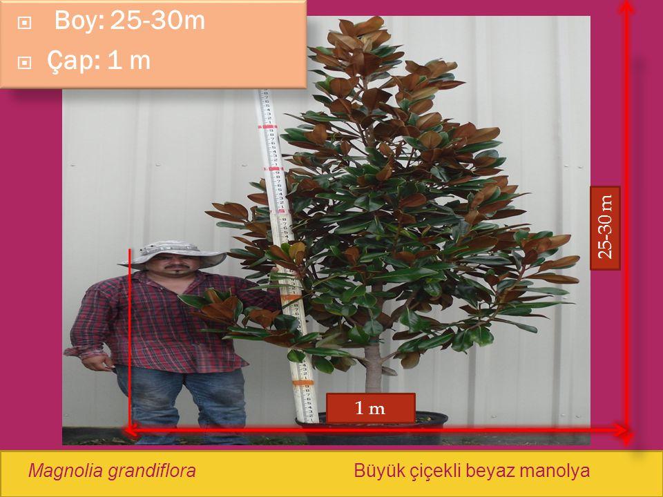 Boy: 25-30m Çap: 1 m 25-30 m 1 m Magnolia grandiflora