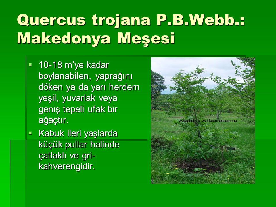 Quercus trojana P.B.Webb.: Makedonya Meşesi