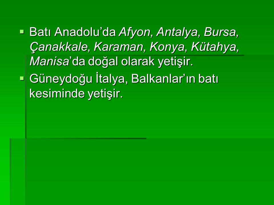 Batı Anadolu'da Afyon, Antalya, Bursa, Çanakkale, Karaman, Konya, Kütahya, Manisa'da doğal olarak yetişir.