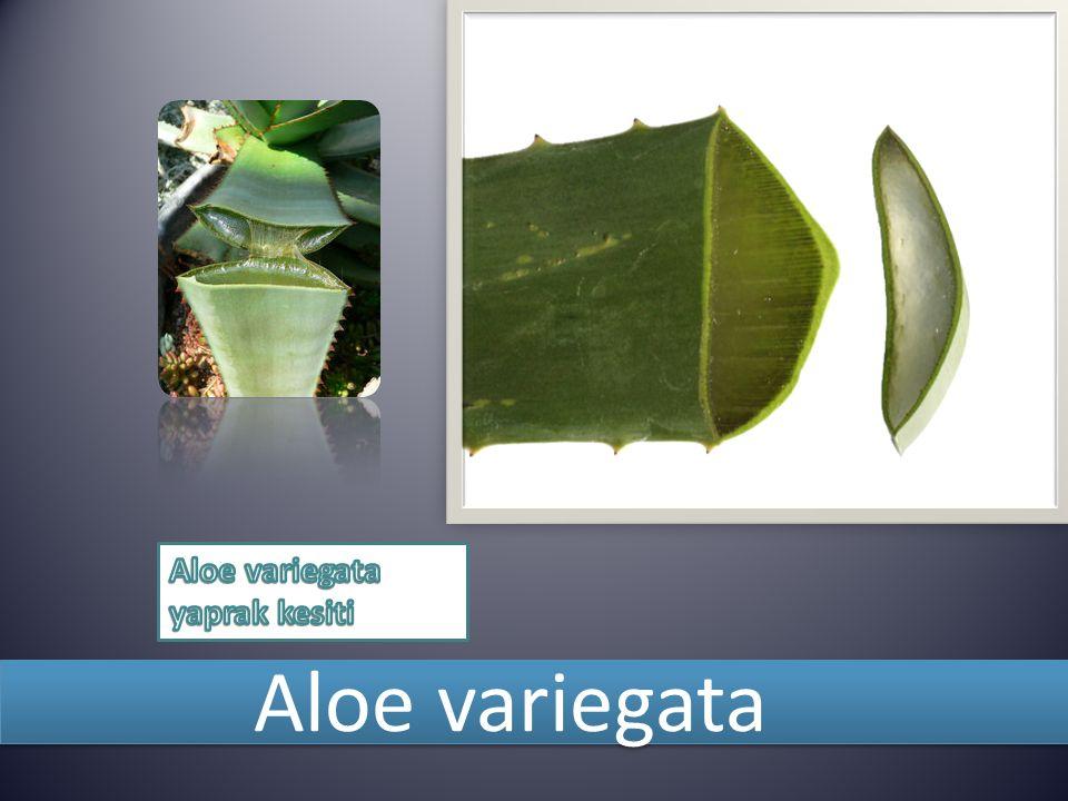 Aloe variegata yaprak kesiti