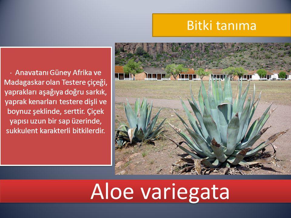 Aloe variegata Bitki tanıma