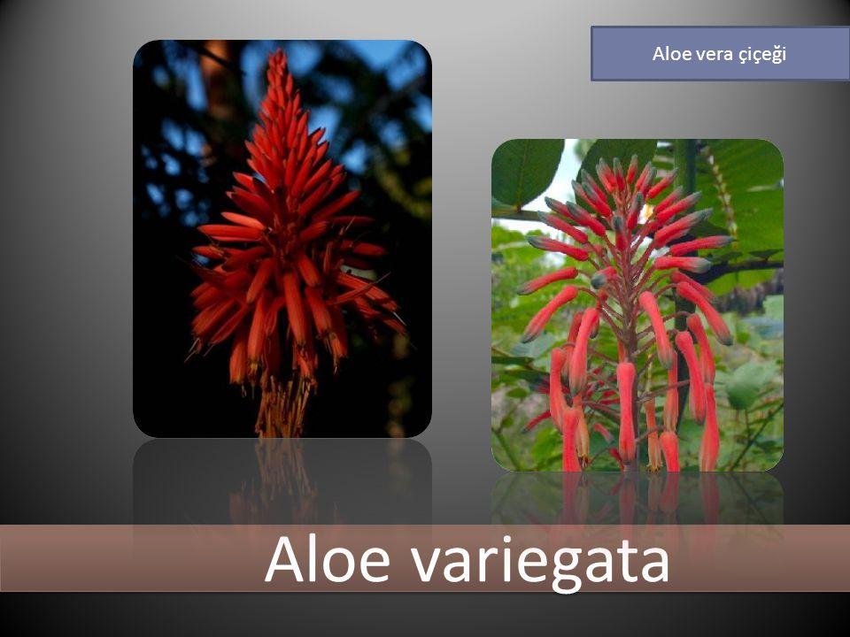 Aloe vera çiçeği Aloe variegata