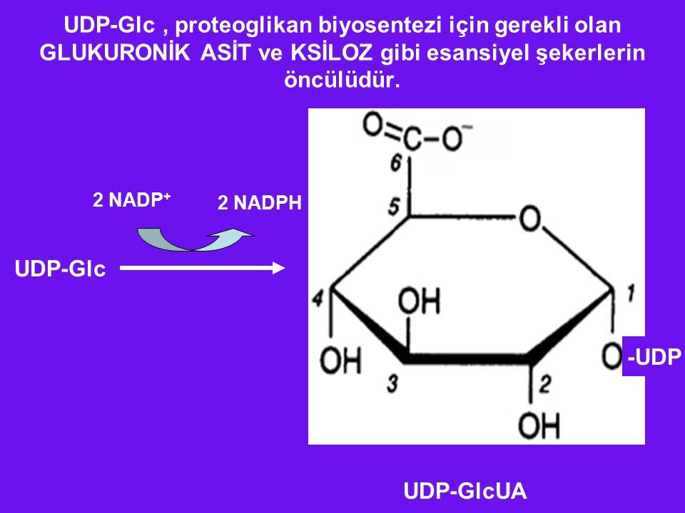 UDP-Glc , proteoglikan biyosentezi için gerekli olan GLUKURONİK ASİT ve KSİLOZ gibi esansiyel şekerlerin öncülüdür.