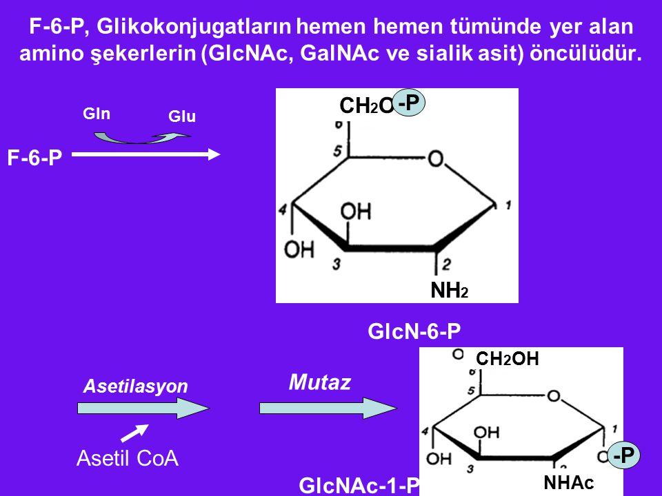 F-6-P, Glikokonjugatların hemen hemen tümünde yer alan amino şekerlerin (GlcNAc, GalNAc ve sialik asit) öncülüdür.