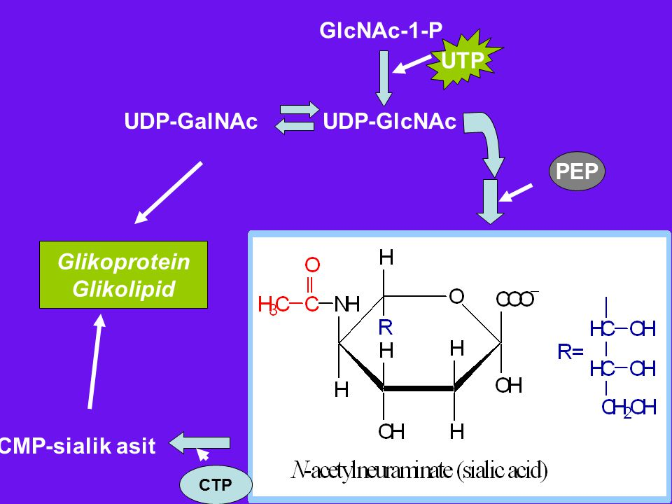 GlcNAc-1-P UTP UDP-GalNAc UDP-GlcNAc PEP Glikoprotein Glikolipid