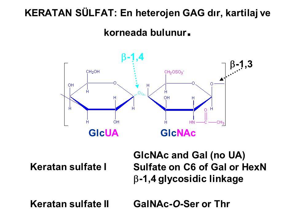 KERATAN SÜLFAT: En heterojen GAG dır, kartilaj ve korneada bulunur.