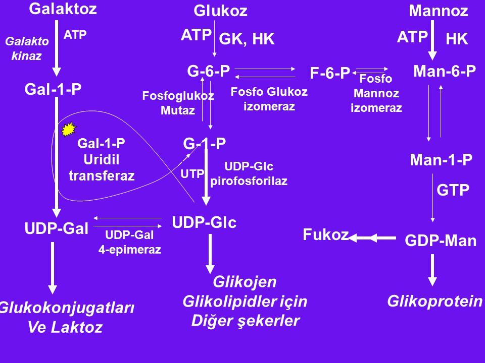 Galaktoz Glukoz Mannoz ATP GK, HK ATP HK G-6-P Man-6-P F-6-P Gal-1-P
