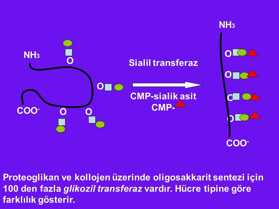 NH3 NH3. O. O. O. O. Sialil transferaz. CMP-sialik asit. CMP- O. COO- O. O. O. COO-