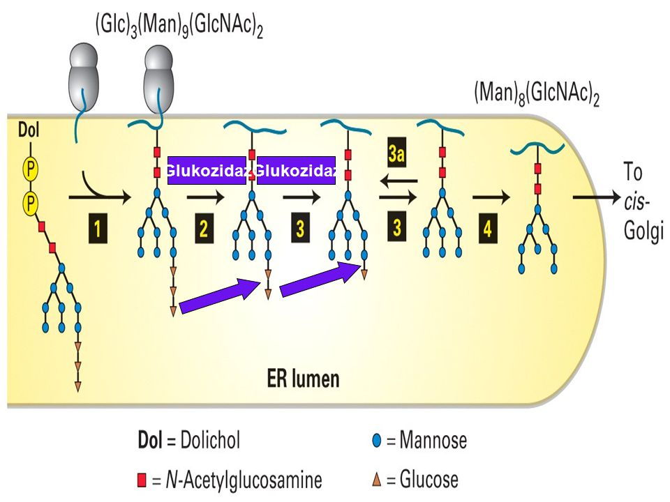 Glukozidaz Glukozidaz