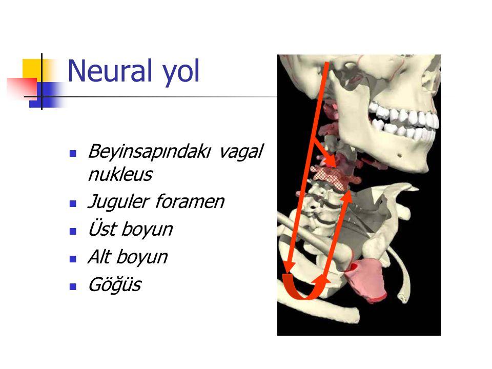 Neural yol Beyinsapındakı vagal nukleus Juguler foramen Üst boyun