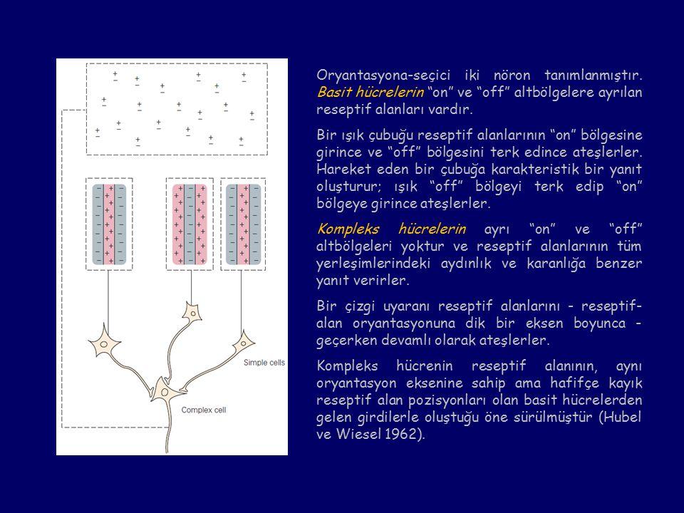 Oryantasyona-seçici iki nöron tanımlanmıştır