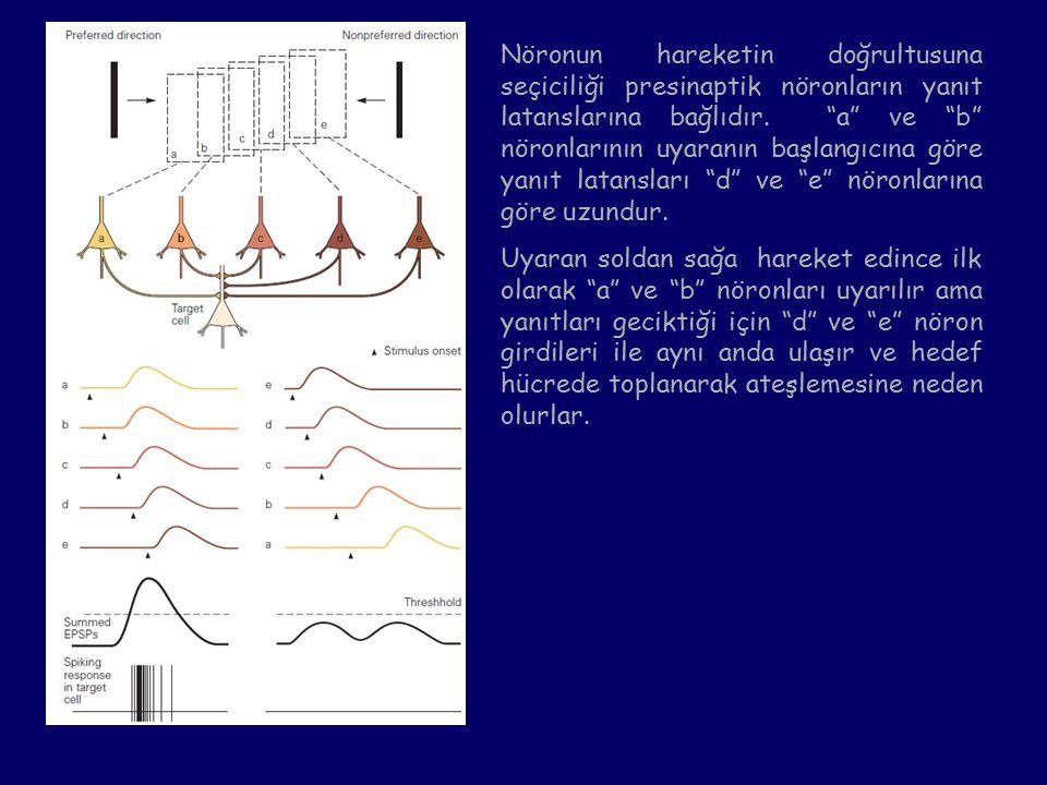 Nöronun hareketin doğrultusuna seçiciliği presinaptik nöronların yanıt latanslarına bağlıdır. a ve b nöronlarının uyaranın başlangıcına göre yanıt latansları d ve e nöronlarına göre uzundur.