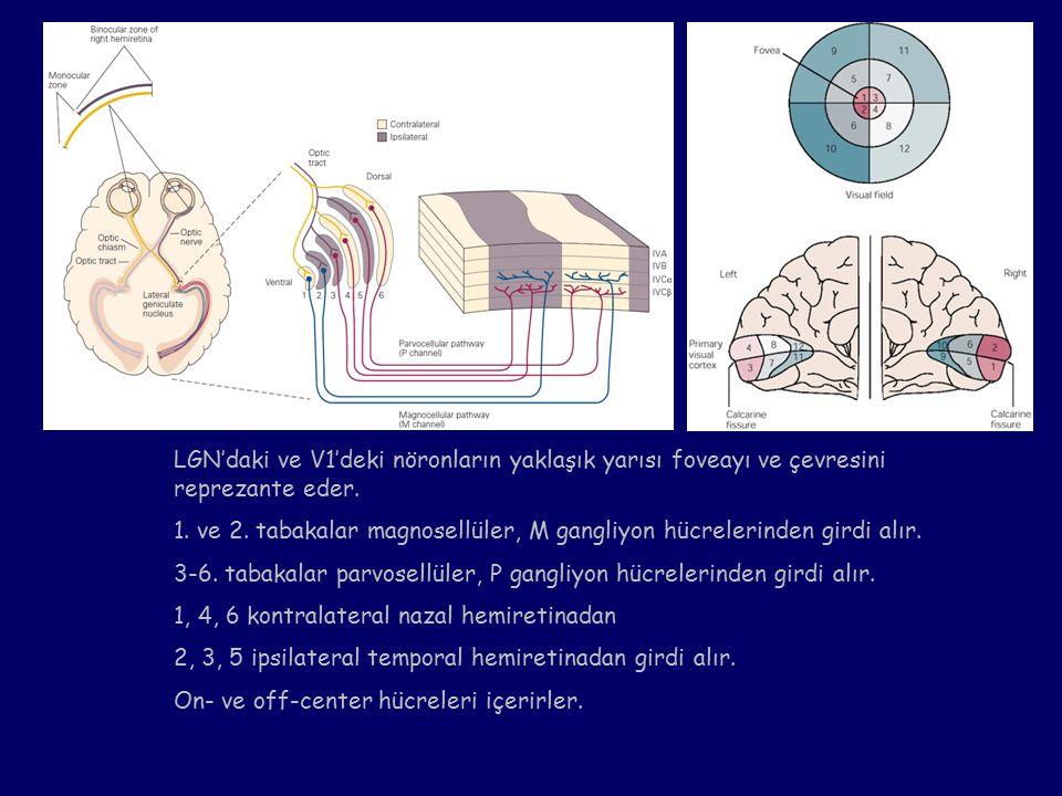 LGN'daki ve V1'deki nöronların yaklaşık yarısı foveayı ve çevresini reprezante eder.