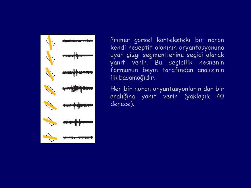 Primer görsel korteksteki bir nöron kendi reseptif alanının oryantasyonuna uyan çizgi segmentlerine seçici olarak yanıt verir. Bu seçicilik nesnenin formunun beyin tarafından analizinin ilk basamağıdır.