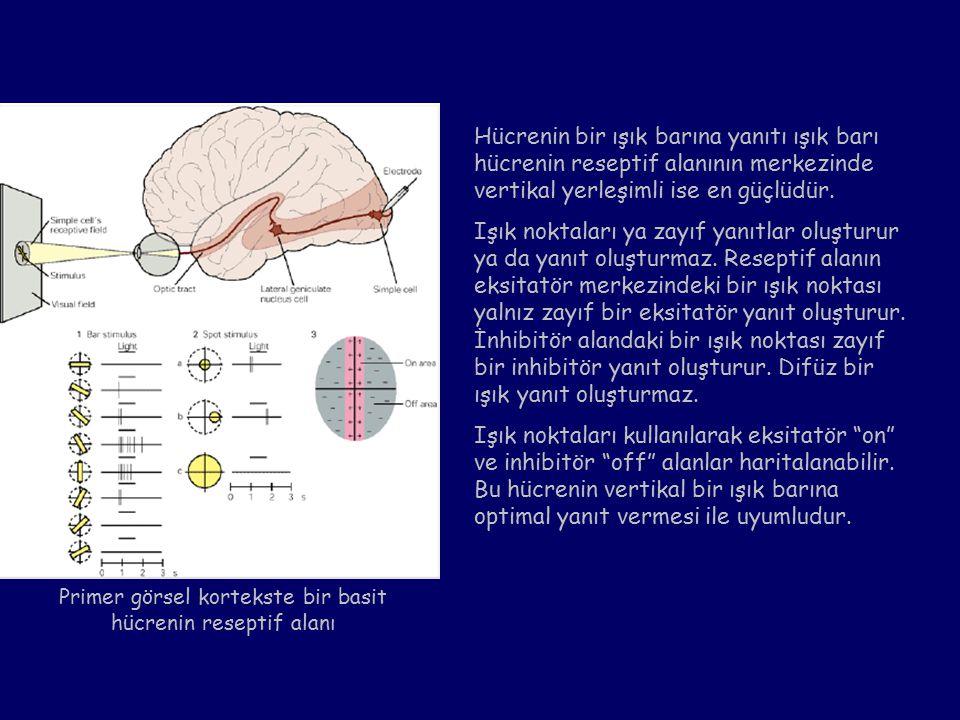 Primer görsel kortekste bir basit hücrenin reseptif alanı