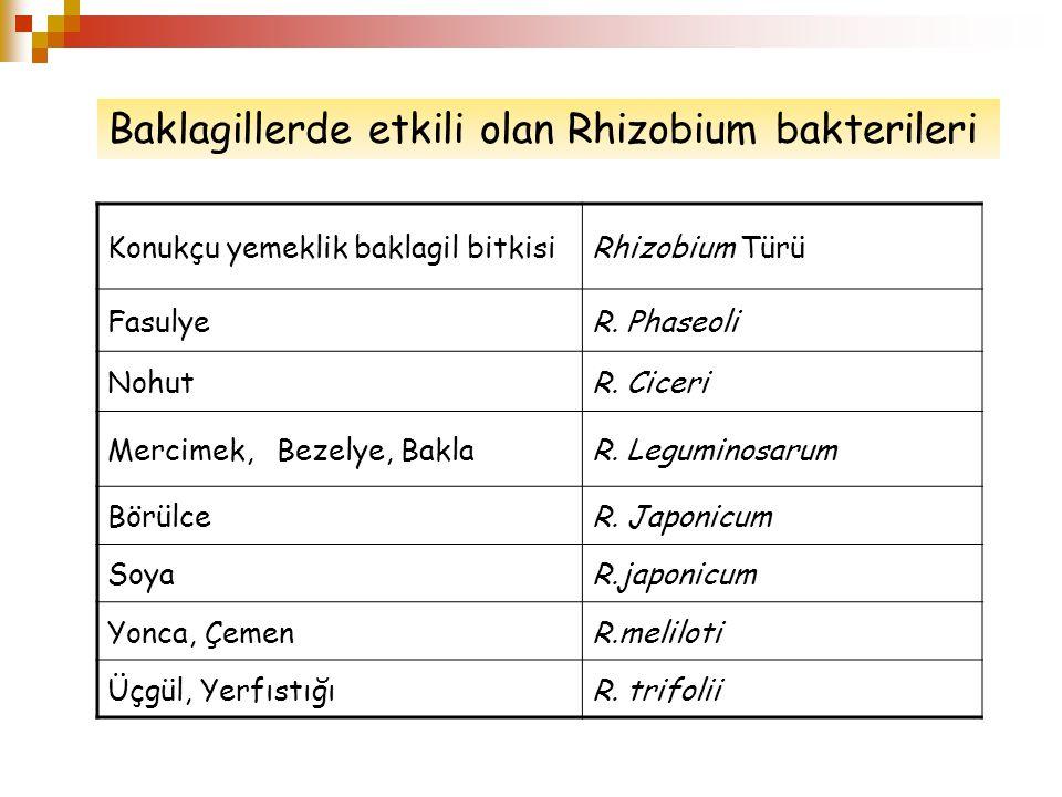 Baklagillerde etkili olan Rhizobium bakterileri
