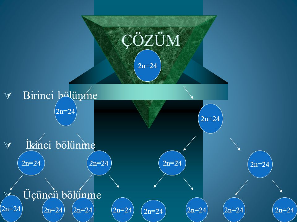 ÇÖZÜM Birinci bölünme İkinci bölünme Üçüncü bölünme 2n=24 2n=24 2n=24