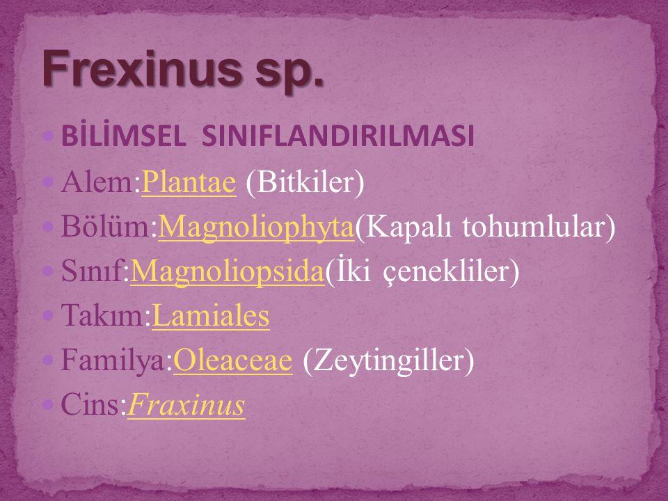 Frexinus sp. BİLİMSEL SINIFLANDIRILMASI Alem:Plantae (Bitkiler)