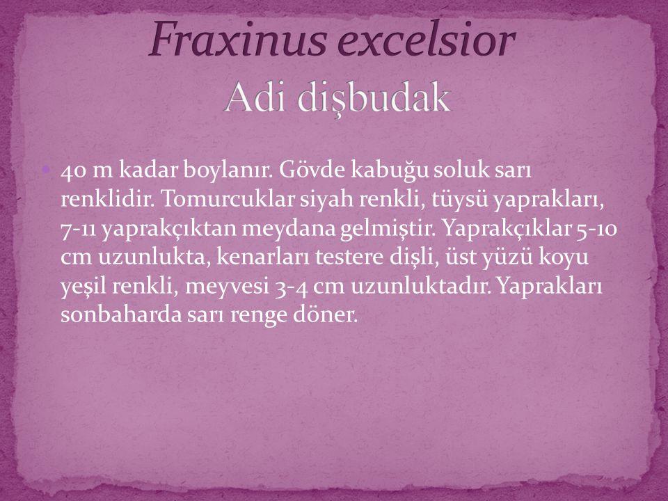 Fraxinus excelsior Adi dişbudak