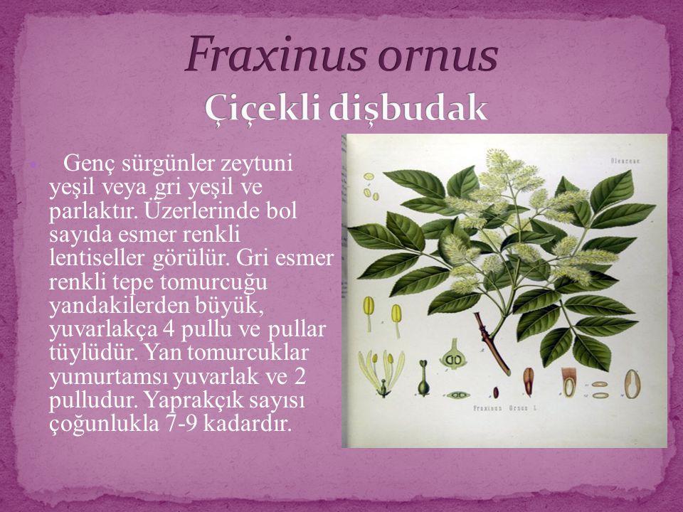 Fraxinus ornus Çiçekli dişbudak